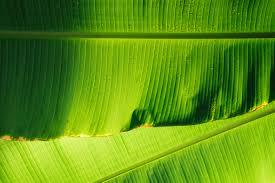 El misterio del tamaño de las hojas
