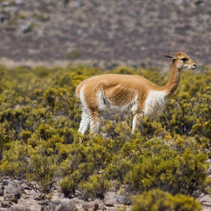Lana de vicuña argentina llega a Europa