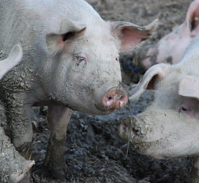 Crece la actividad porcina en la Provincia de Buenos Aires
