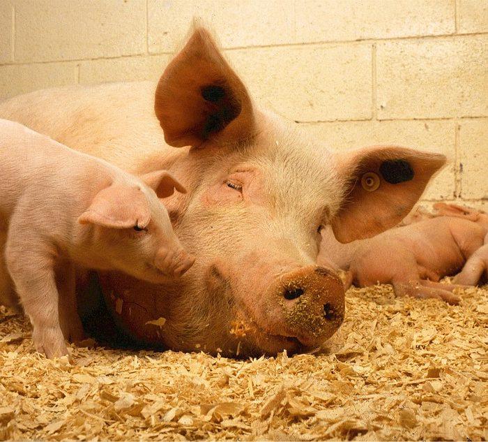 OMS pide limitar el uso de antibióticos en animales sanos