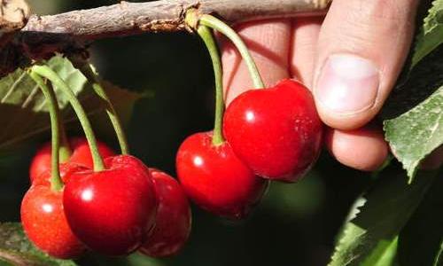 Alerta por la presencia de una nueva plaga en frutales