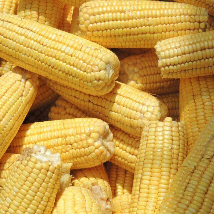 Científicos buscan lograr un maíz que resista a múltiples enfermedades
