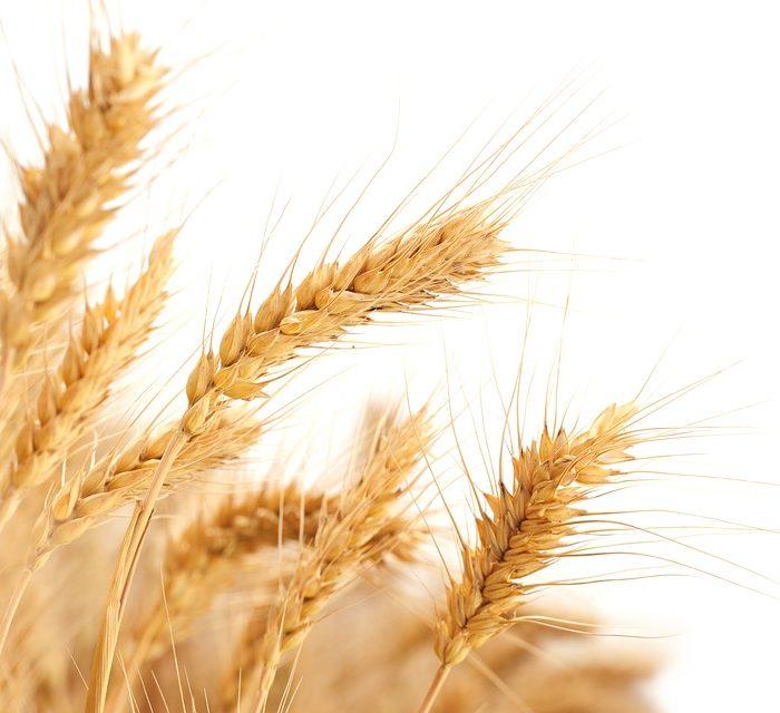 Calidad del trigo disponible en tiempo real