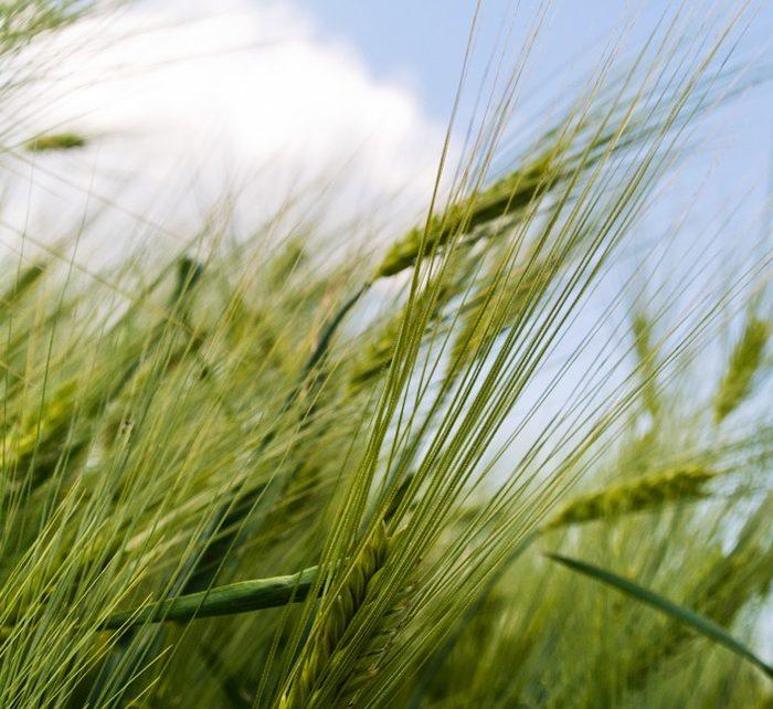 Ingeniero agrónomo y su hijo desarrollaron una herramienta online para elegir qué variedad de trigo sembrar