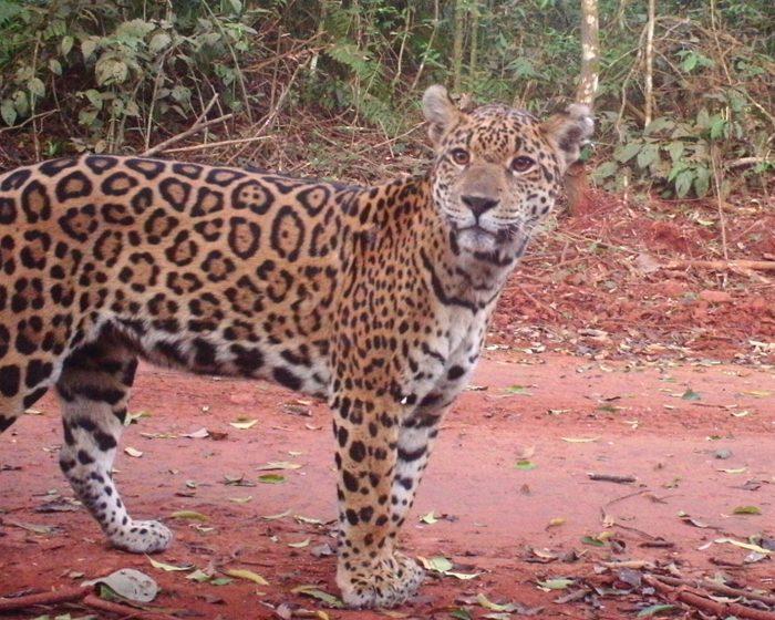 El yaguareté, entre la recuperación en Misiones y el riesgo extremo en el Chaco