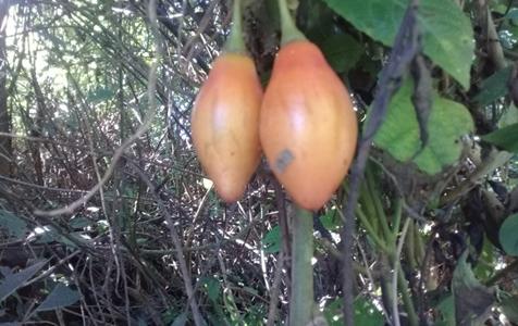 Chilto: el tomate de árbol como alternativa a las producciones agroforestales