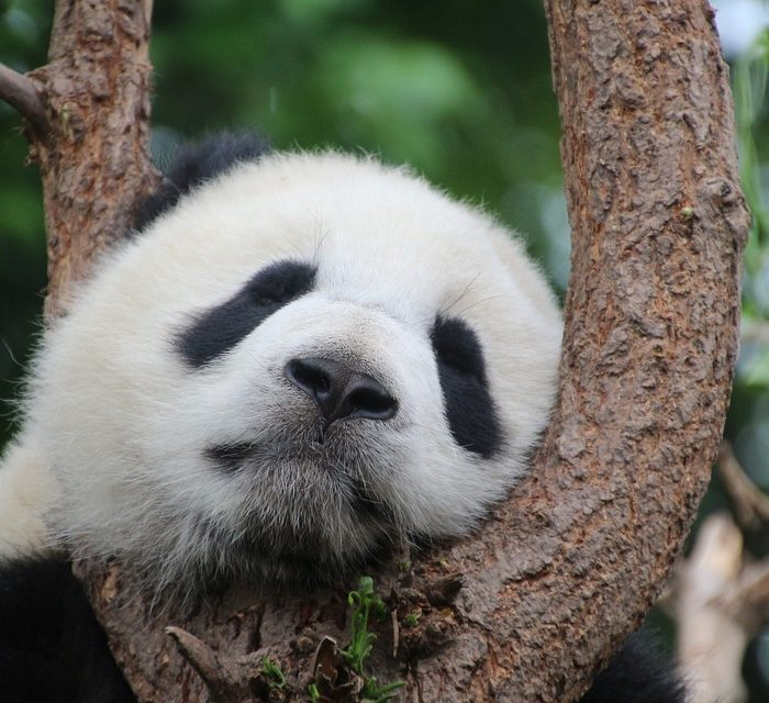 En China usarán heces de oso panda para fabricar papel para el hogar