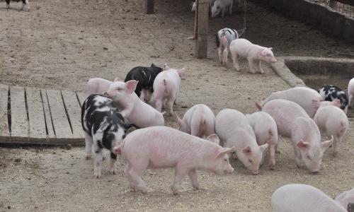 Reducir el impacto del estrés calórico en la producción animal