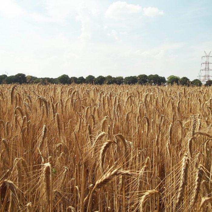 Lanzan análisis gratuito de calidad del trigo