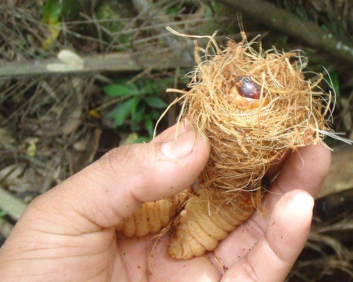 Insectos comestibles: la práctica ancestral de criar larvas