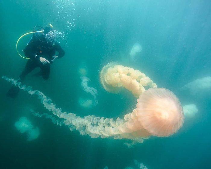 Llegaron las medusas