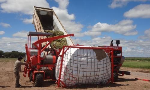 Forraje: cómo ensilar maíz afectado por calor y sequía