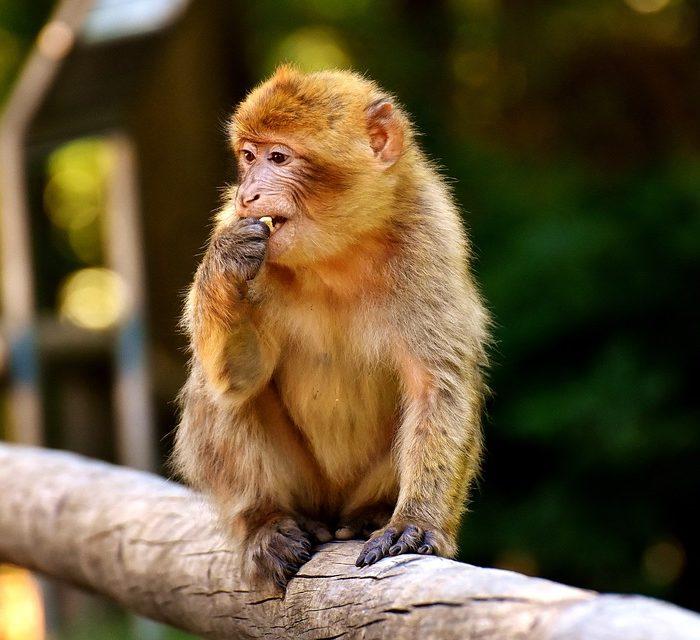 China anunció la exitosa clonación de los primeros monos macacos con el método oveja Dolly