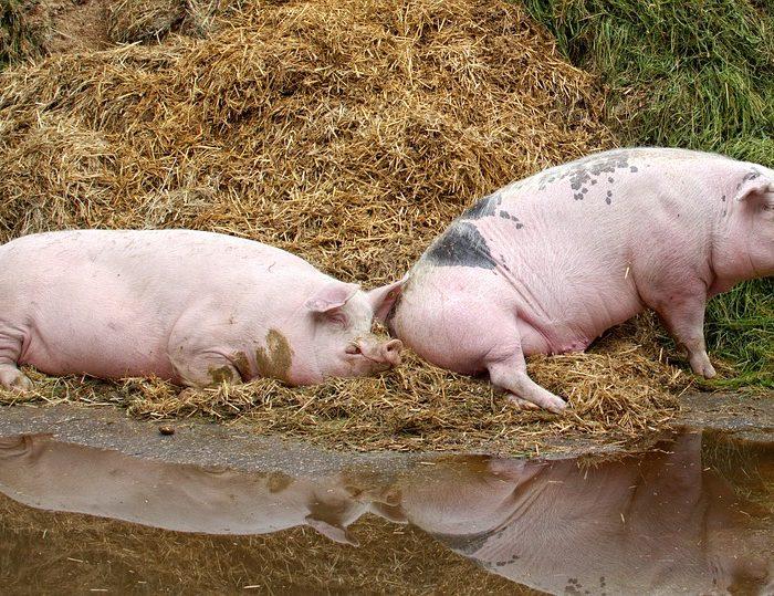 Alibaba usa inteligencia artificial para impulsar la cría de cerdos en China