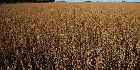 Cosecha de soja: aumentar los cuidados reduce pérdidas