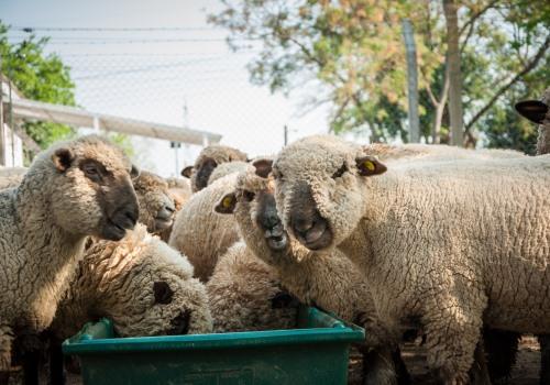 Caracterizan el 75 % de las bacterias que habitan en el rumen del ganado – Parte II