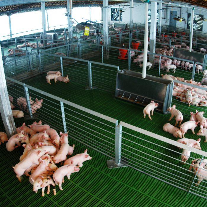 Argentina fue reconocida internacionalmente como país libre de Peste Porcina Clásica