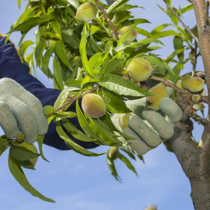 Nuevo Programa Nacional de Buenas Prácticas Agrícolas Sustentables en Productos Frutihortícolas