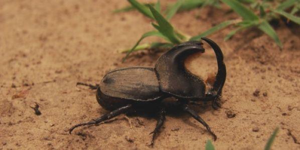 Caminar los lotes para prevenir daños de bicho torito