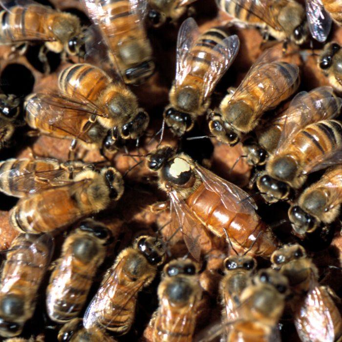Uruguay abre el mercado de abejas reinas argentinas