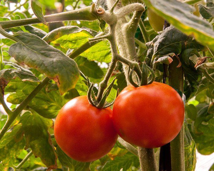 Identifican los cambios genéticos que facilitaron el cultivo de tomate en Europa