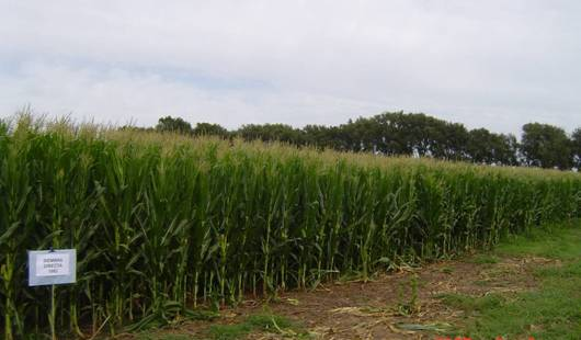 Con riego se puede hasta duplicar el rendimiento en trigo – Parte I