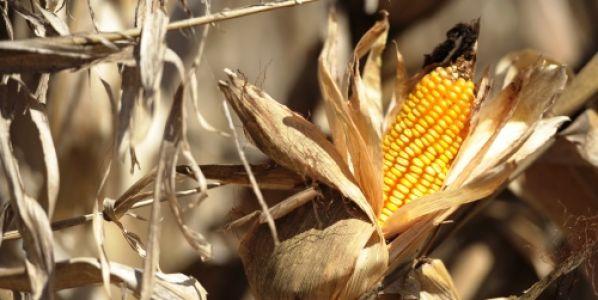Investigadores buscan un maíz que tolere golpes de calor