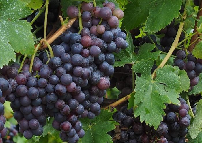 Patagonia Norte: terroir vitivinícola en renovación continua