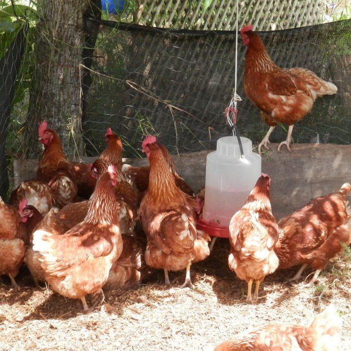 Día Mundial del Huevo: HSI celebra el progreso global hacia la producción de huevo libre de jaula