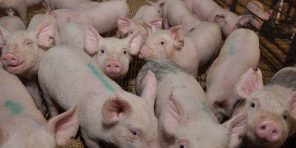 Porcinos: el AMBA aporta casi el total de lo consumido en la zona