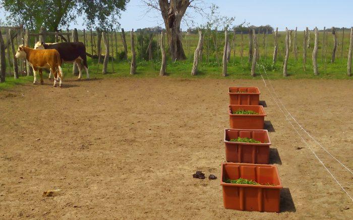 Un hongo desalienta la alimentación de las vacas