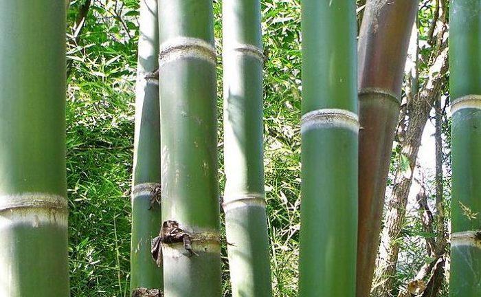 Usan carbón de bambú para descontaminar aguas con arsénico
