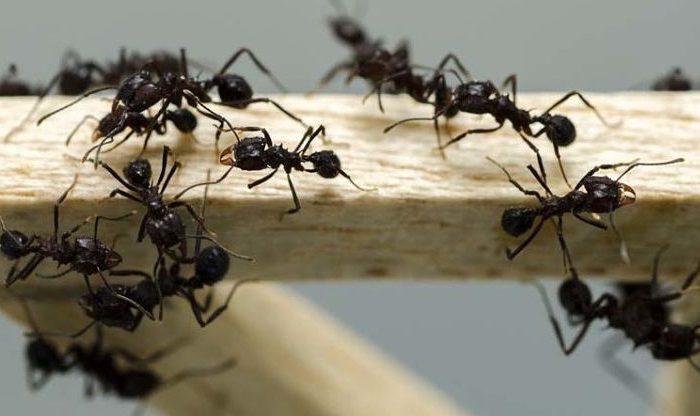 Atrayentes y repelentes naturales para controlar hormigas