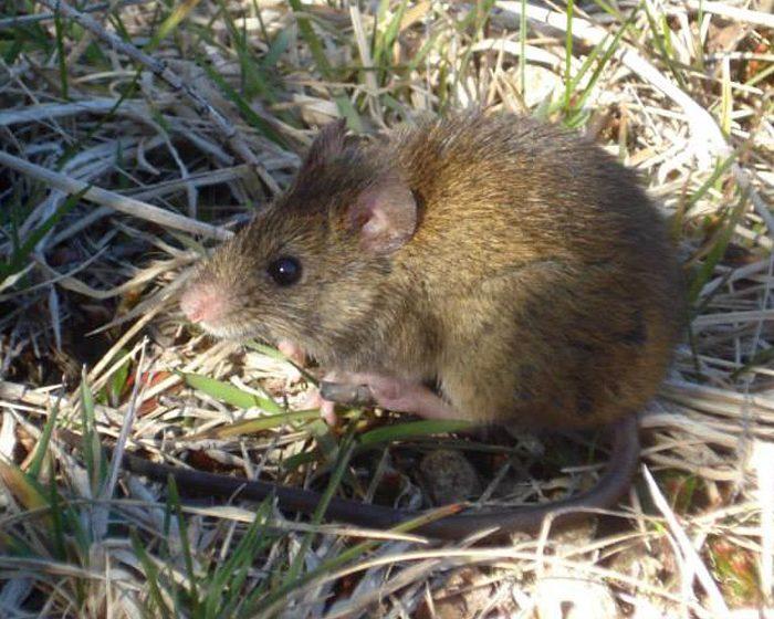 Diferentes especies de roedores son hospedadores de Hantavirus en la naturaleza