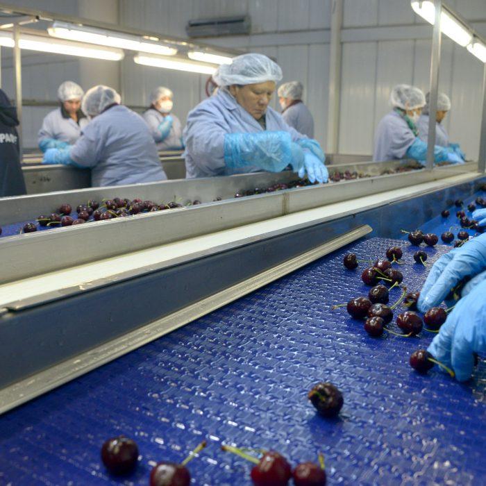 Certificación del primer envío de cerezas argentinas a China