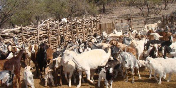 Cabras: estudian las carencias minerales para detectar enfermedades
