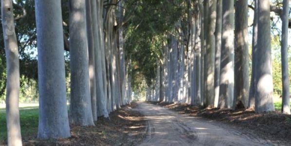 Buscan obtener una especie forestal que resista el frío