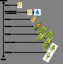 Silaje de grano húmedo: todo lo que debe tener en cuenta para su confección, manejo y aprovechamiento