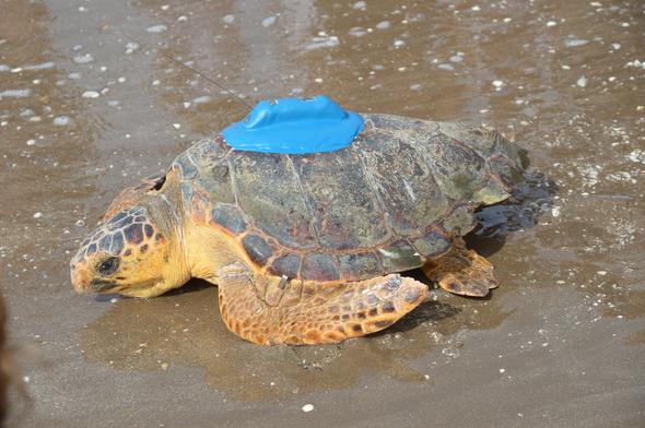Siguiendo la ruta de las tortugas marinas