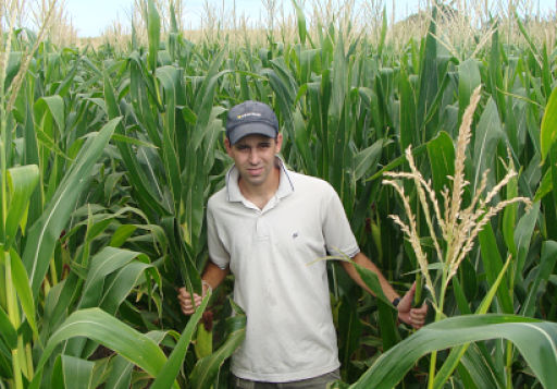 Buscan ajustar la nutrición del maíz tardío