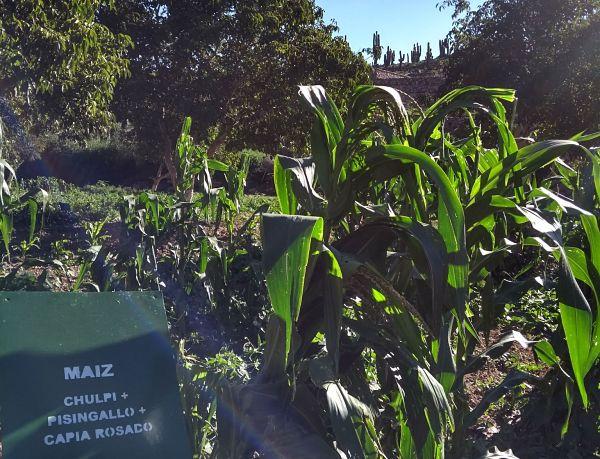 Los maíces nativos en riesgo vuelven al pago