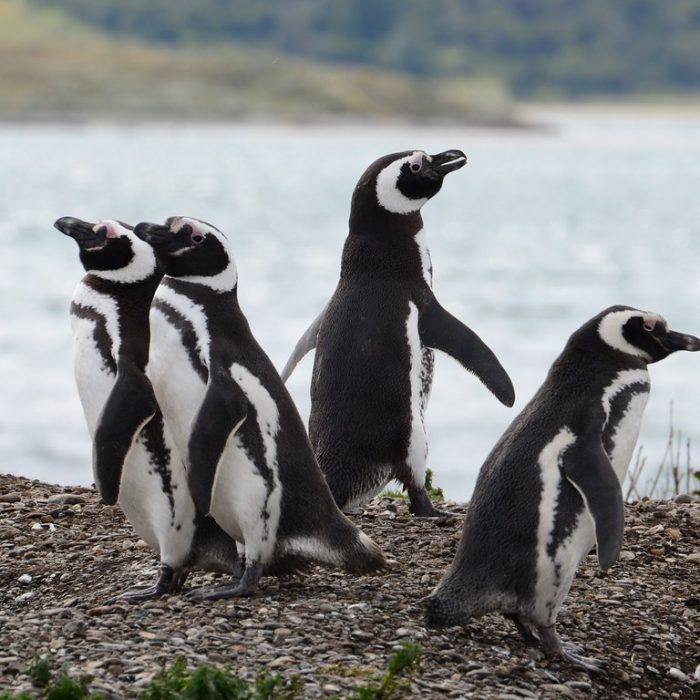 """""""El pingüino es un gran disparador de debates y soluciones a nivel global"""""""
