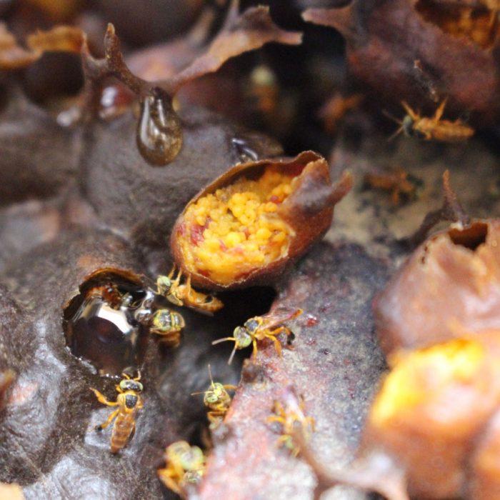 Yateí: la abeja nativa que cura, alimenta y conserva el ambiente – Parte I