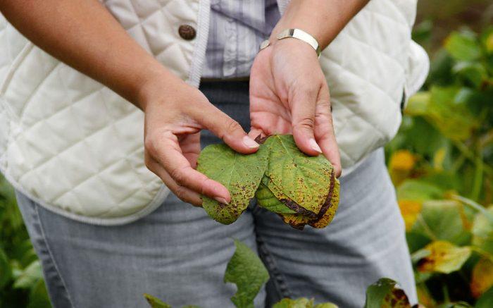 Rotación agrícola: Una herramienta clave contra enfermedades de la soja