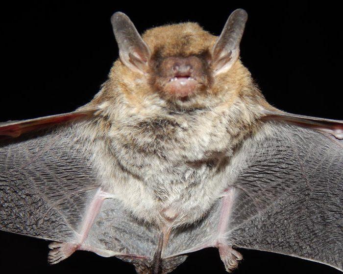 Descubren una nueva especie de murciélago