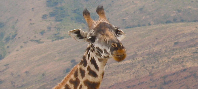 Daniel Dickinson Una jirafa en el norte de Tanzania.