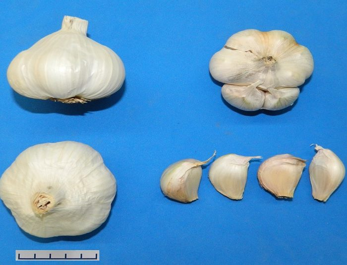 Nuevo cultivar de ajo blanco para ampliar la frontera de siembra