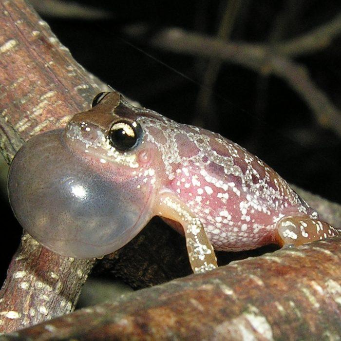 Una nueva especie de rana fue nombrada en homenaje a Fontanarrosa