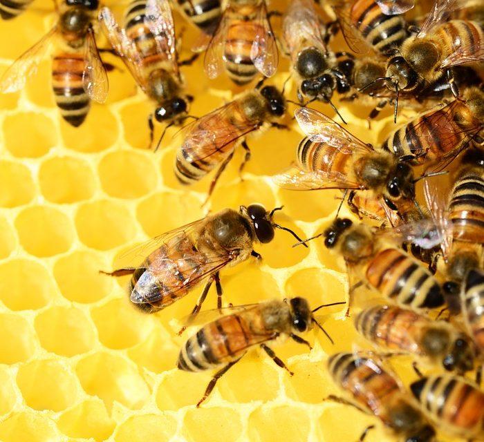Multiplican colmenas que se limpian a sí mismas