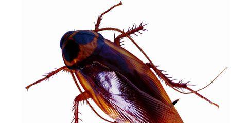 Hallan un hongo que puede convertirse en un insecticida natural contra cucarachas